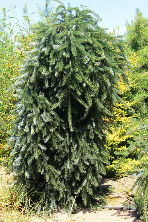 The pendulous branches and leader of this informal, upright European silver fir spiral or twist to give it a very attractive, sculptural appeal. New light green needles that mature to glossy green are decorated by silvery undersides.