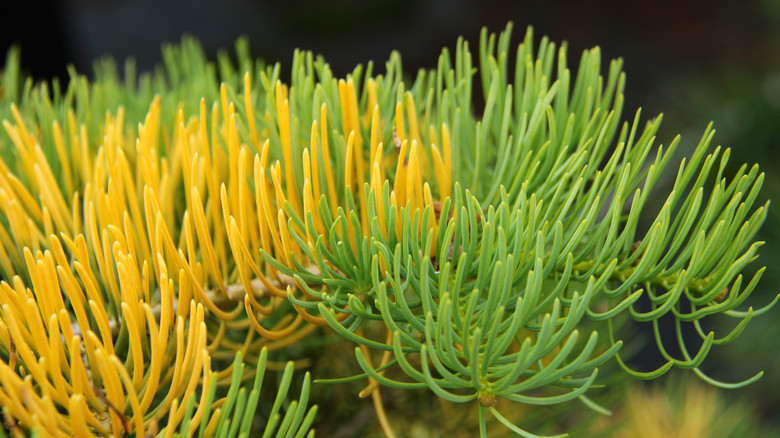 The needles of this slow-growing white fir start out lush chartreuse and soften to incredible buttery yellow. Hardy and tough enough to stand up to full sun, the broadly conical tree develops brilliant winter color.