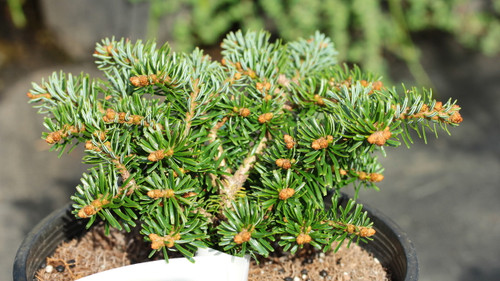 This compact, slow-growing fir has light-green foliage and new growth an even lighter green. Undersides of the needles sport a bright silvery-white color.