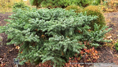 Low and slow-growing, this spreading Pacific silver fir with lush green and gray-blue foliage makes an attractive ground cover.