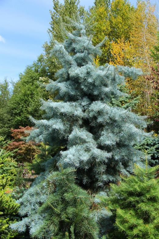 Abies Concolor Blue Cloak White Fir Conifer Kingdom