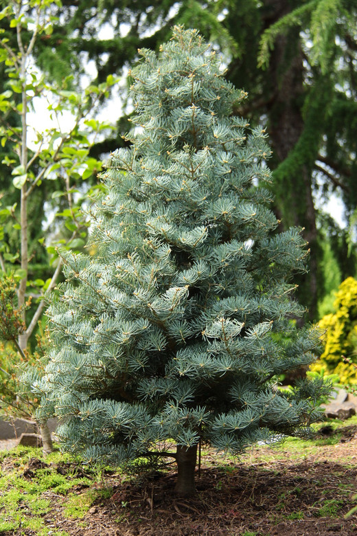 Abies Concolor Archers Dwarf White Fir Conifer Kingdom