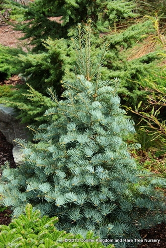 Bright silver-blue needles on this dense, upright selection give the tree a soft texture. A slow growth rate and beautiful color make this tree a good accent plant.