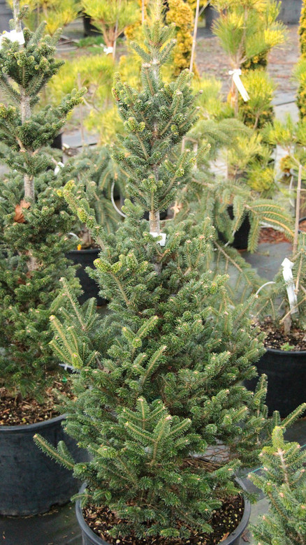 Compact and columnar, this form of Fraser fir is a good choice for the small garden, where its short, horizontal branches and short, dense needles deliver an upright evergreen presence in little room. Shiny, dark green needles are complemented by upright, resinous cones.