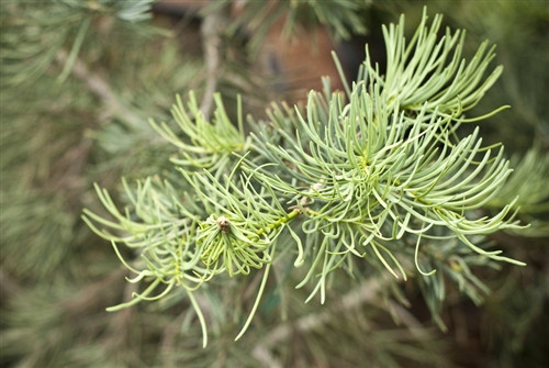 Thin, gray/blue green contorted needles and branches explain the name of this broadly conical white fir. The slow-growing tree makes an attractive, symmetrical form.