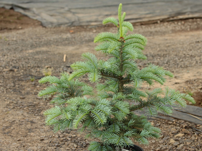 This cultivar was selected from an intentional hybridization between Abies grandis and Abies concolor by Kurt Wittboldt-Müller in Germany. The needles are arranged in rows more flattened than that of Abies concolor but are significantly bluer than those of Abies grandis. An excellent intermediate fir with beautiful foliage.