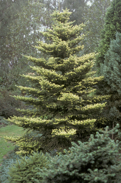 Bright yellow needles with white undersides give this slow-growing Korean fir a distinctive look. Striking upright purple cones contrast the foliage, which takes on a softer shade in summer. Mature plants can tolerate full sun, but juvenile plants prefer some shade. A low, spreading shrub when young, becoming conical with age.