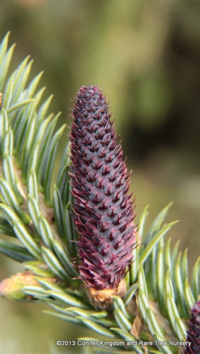 This dwarf fir has a tight, upright, conical form and long, soft, blue-gray needles that look good all year. It is quite possible that this variety is actually a cultivar of the similar Abies lasiocarpa. Either way, it is a desirable dwarf fir that is easy to grow.