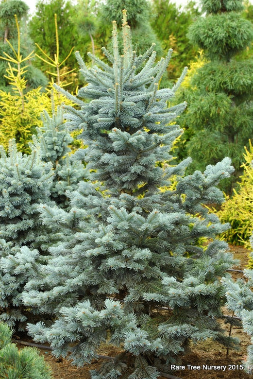 This pyramidal selection of Alpine Fir has a gorgeous bright blue color. Its dense growth and perfect Christmas tree shape make it a delightful addition to any landscape.