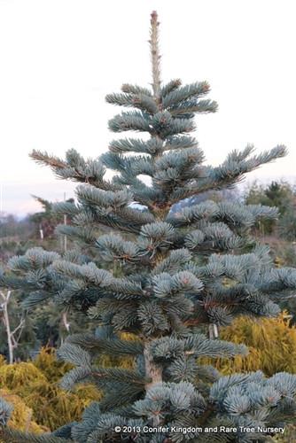 Abies Lasiocarpa Prides Select Subalpine Fir Conifer Kingdom