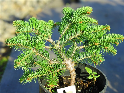Compact growth on this dwarf fir is light-green when new, darkening to a rich, glossy green in summer. The slow growth and dense branch structure make it a choice dwarf fir.