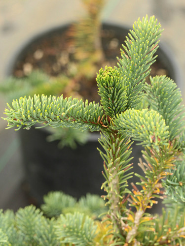 This peculiar Noble Fir will make long, straight branches that head skyward rather rapidly. This bizarre attribute is very distinctive and noticeable.