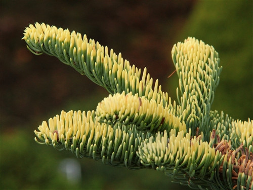 "This perfectly-shaped ""Christmas tree"" form has bright golden-yellow foliage, most noticeable on portions of the plant most exposed to sunlight, yet more green on interior foliage. Will eventually grow to be a full-sized tree, but the golden colour slows its rate of growth."