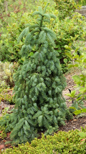 A dwarf weeping variety that makes a mound. Can be trained to develop a leader. Very interesting form and color which is a muted greenish blue. Many of the oldest specimen have been trained upright, then have developed a leader on their own.