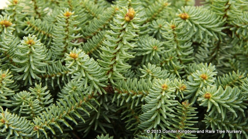 Short, stiff, blue-green needles on this dwarf, spreading plant give it a shimmering appearance. A selection from Gunter Horstmann in Germany.