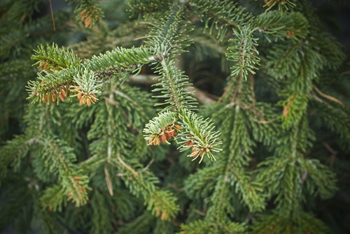 The twisted green needles of this Nordmann fir give the tree a unique texture. It grows quickly into an attractive conical form with horizontal branching.
