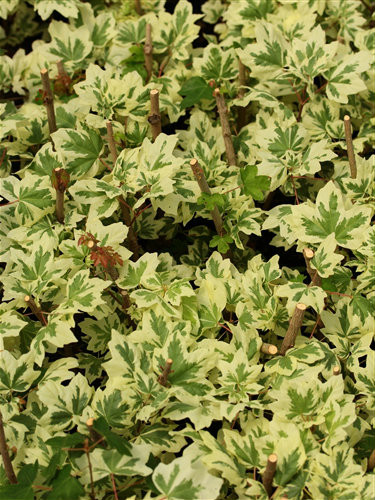 Fairy small, symmetrical leaves have blunt lobes. Each leaf has a copious amount of bright white variegation, contrasting with the light green typical of the species. A beautiful, and fairly slow-growing tree.