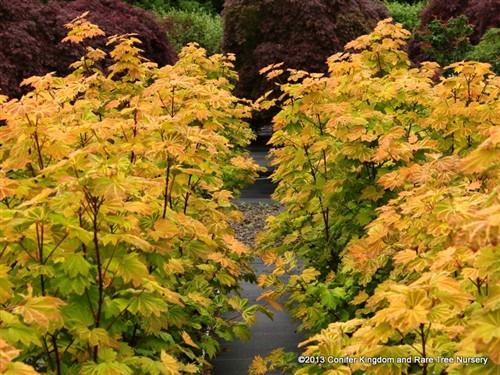 Acer Circinatum Sunglow Vine Maple Conifer Kingdom