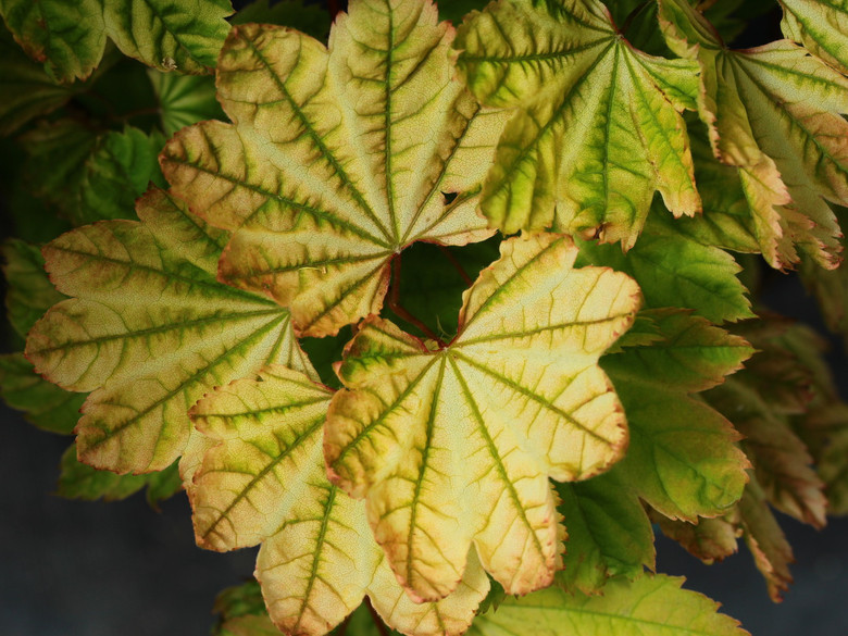 Chartreuse-apricot spring leaves last for more than a month. Leaves are green in summer. Fall colors are a variety of reds and purples. Some truly spectacular leaf colors can show in the spring.