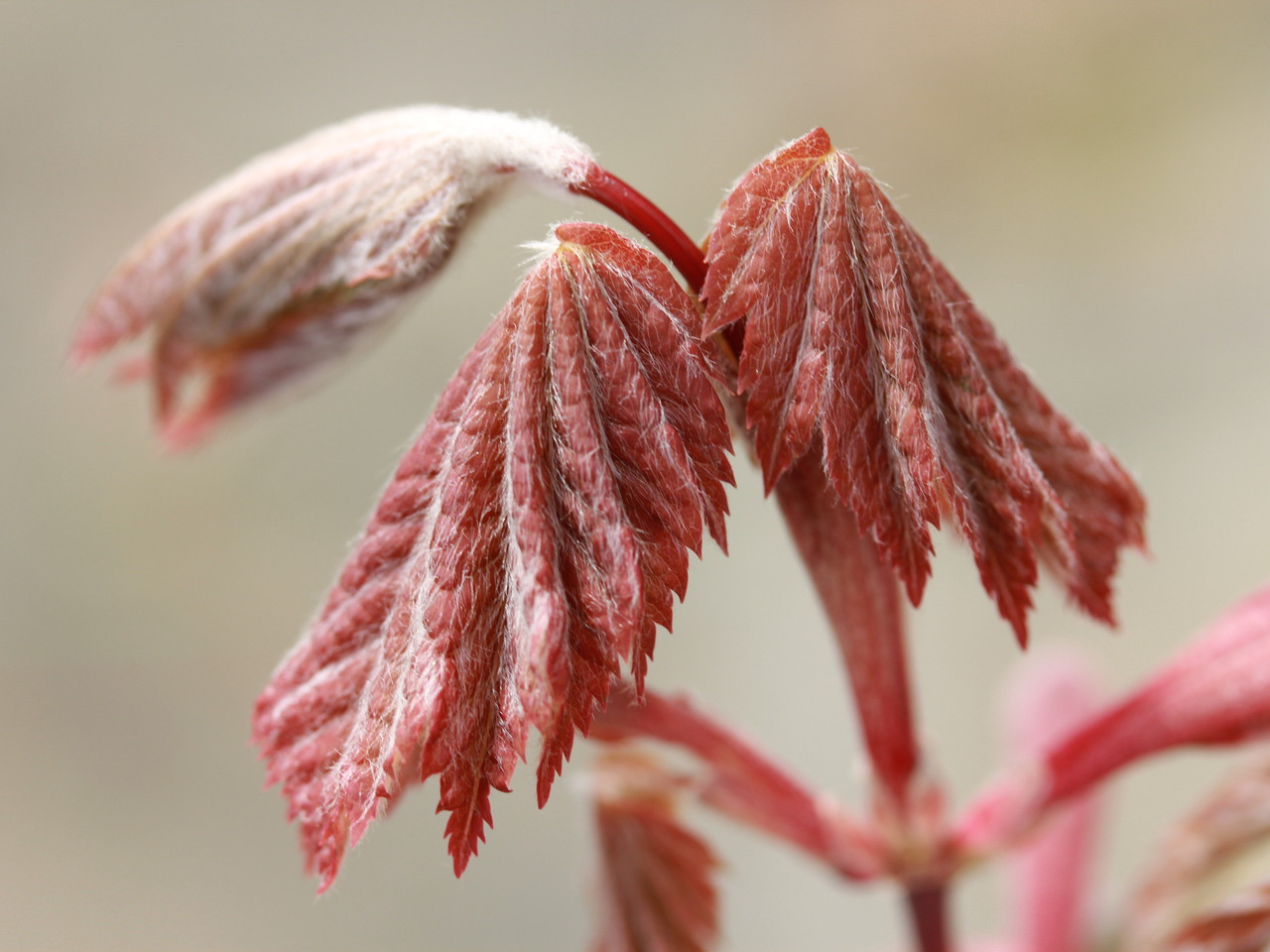 Acer Japonicum Ruby Japanese Maple Conifer Kingdom
