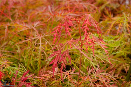 Very pendulous, finely dissected, light orange-red foliage lends a distinctive look to this colorful laceleaf Japanese maple.  Summer leaves become  green prominently highlighted with pink margins, which produces a multi-colored effect. In fall, yellow foliage with orange hues brightens the scene. Foliage maintains its attractive color even in late summer and early fall when most other cultivars are washed out.