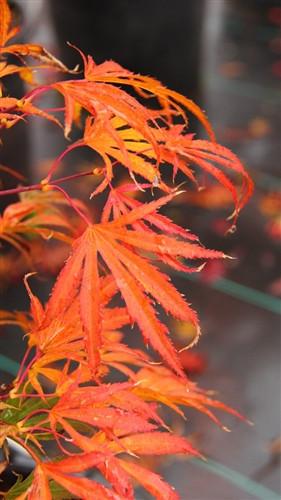 """Leaves emerge raspberry red and darken to purple as they elongate. Leaves have twisted lobes with a very thin cream outline. The appearance of reddish new leaves on top of the bronzed interior foliage give the tree a """"red smoke"""" appearance, which is the translation of the name."""