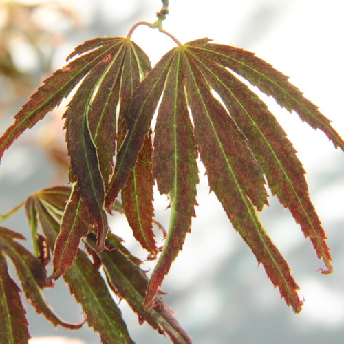 "Leaves emerge raspberry red and darken to purple as they elongate. Leaves have twisted lobes with a very thin cream outline. The appearance of reddish new leaves on top of the bronzed interior foliage give the tree a ""red smoke"" appearance, which is the translation of the name."