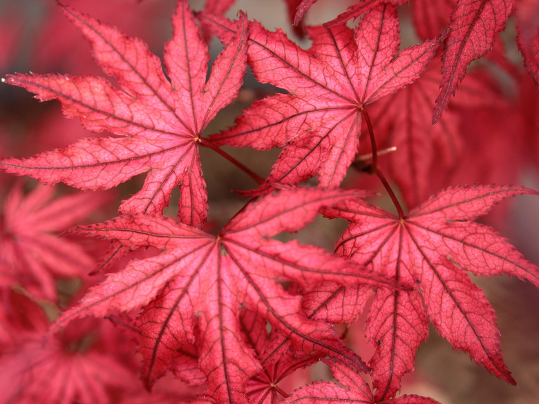 Reddish-pink leaves on this Japanese selection are highlighted by dark leaf veins when they emerge in spring. Distinctive reticulation lasts on the leaves throughout the year, and fall bring on a host of orange, red, and purple.