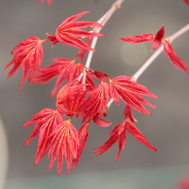 New growth is vibrant red color with a bright coral-pink color persisting throughout the summer. A very colorful and slow-growing Japanese Maple.