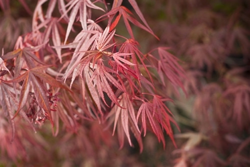 Smaller in both stature and leaf size than other red Japanese maples with strap-like leaves, this delicate-looking small tree makes a choice container plant. Its small leaves retain their purple-red coloring throughout summer and turn scarlet in fall.