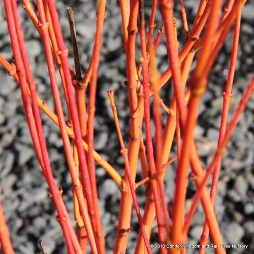 Acer palmatum 'Bihou'