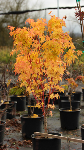 Spectacular seasonal colors make this small tree highly desirable. Leaf color starts out light yellow-green with a pink flush, then changes to green for summer and takes on a very bright yellow in fall. Twigs and young branches brighten up the winter landscape with a yellow to apricot-orange color.