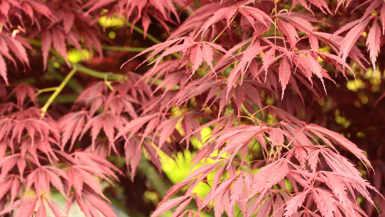 Acer Palmatum Crimson Carole Japanese Maple Conifer Kingdom