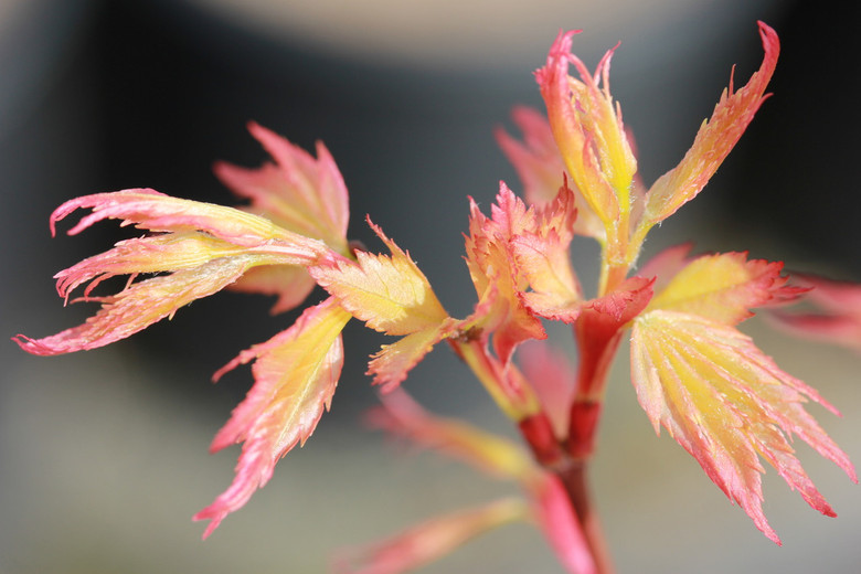 Delicate leaves emerge coral pink. Spring color absolutely glows in the landscape, lasting until early summer. Pink new growth shows beautifully on top of older green leaves. Fall color is coral-red.