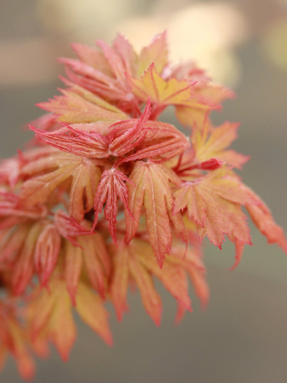 Curled leaves are edged in beautiful orange-red color in spring. The majority of the foliage changes to a light-green color by mid-summer. Compact branching habit and almost cristate stems make this compact maple a really choice selection.