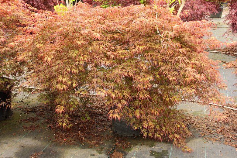 The beautiful leaves of this laceleaf Japanese maple emerge with orange and red highlights. In summer, the green leaves develop orange-red margins and contrast with red new growth. In fall becomes bright orange. A recent introduction. Dissectum.