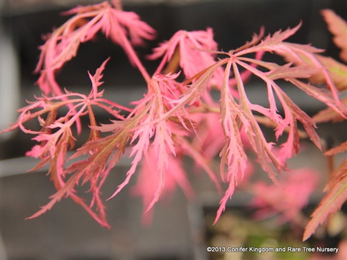 This laceleaf maple has burgundy leaves that are randomly splashed with a remarkable and unique pink variegation! One of very few variegated laceleafs. Colorful, slow-growing and elegant.