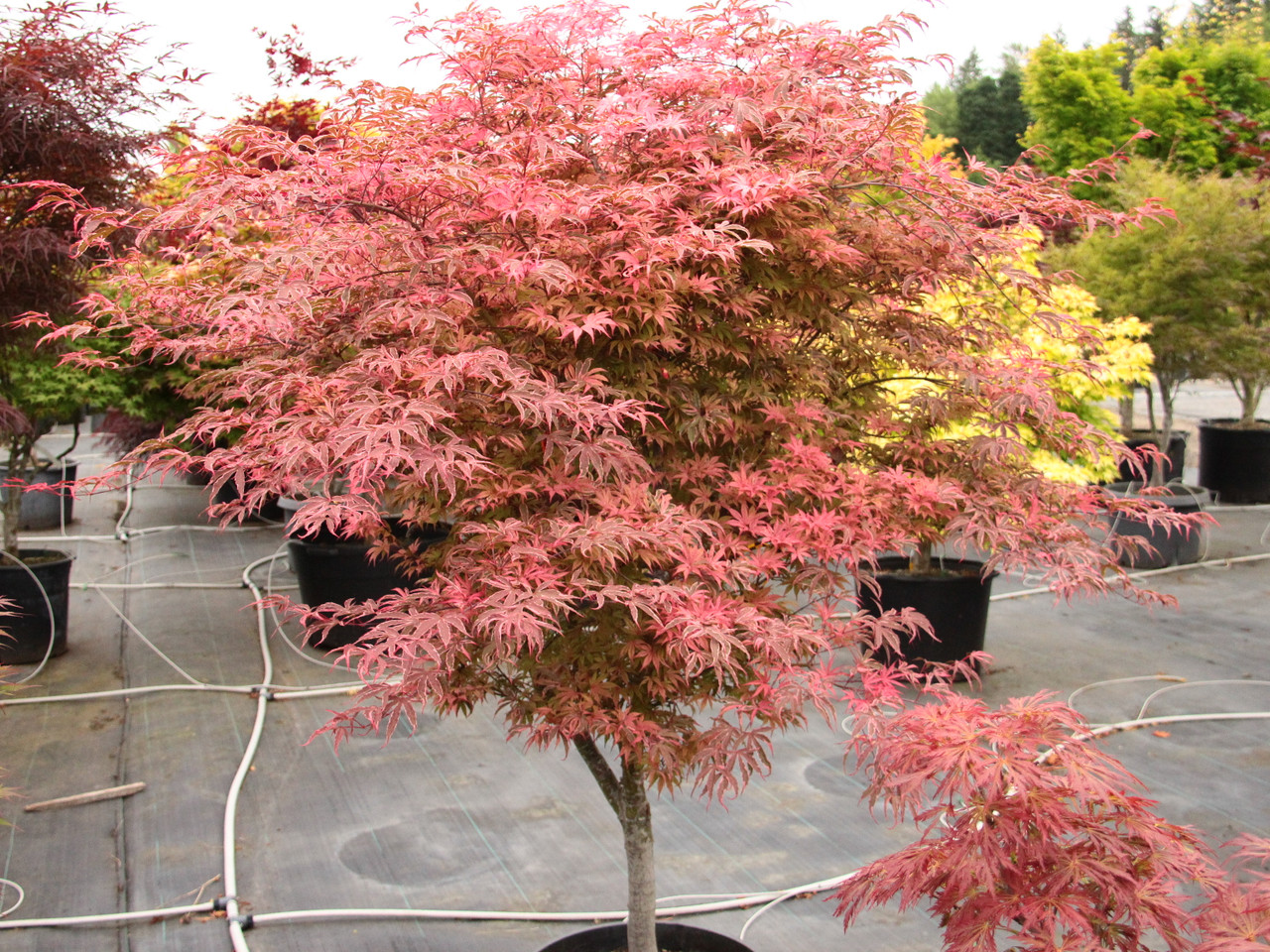 Acer Palmatum Geisha Gone Wild Japanese Maple Conifer Kingdom