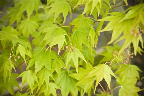 Selected for its deep orange fall color, this sturdy, hardy Japanese maple is truly the jewel its name suggests. Crisp and glossy, medium-size green leaves have wide, triangular lobes that radiate out in an attractive display.