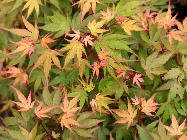 This compact maple has a globose shape and two-toned new growth, displaying light-green leaves with pink to ruby-red margins. Outstanding orange-red fall color is highlighted by undertones of deeper greens and purples even late into fall.