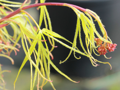 """The leaf lobes of this slow-growing, upright, green Japanese maple vary in width from narrow and strap-like to hardly more than a leaf vein, which produces an elegant, soft look.  The new leaves unfold with crimson tones, but quickly turn green and then take on shades of orange and gold for fall. Named """"Golden Old Harp"""" (or """"Harp Strings"""") in Japanese, this variety can tolerate 80% shade.  Also known as 'Koto-no-it.'"""