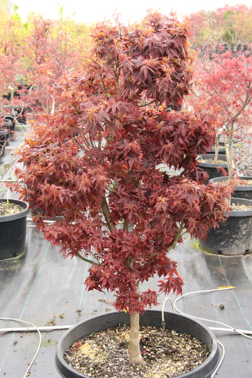 In Spring, the deep red, crinkled leaves have their most vibrant color, later becoming a more burgundy and purple color in the heat of summer. Kurenai jishi's compact growth habit and beautiful structure make it very attractive, and the orange fall display is especially spectacular.