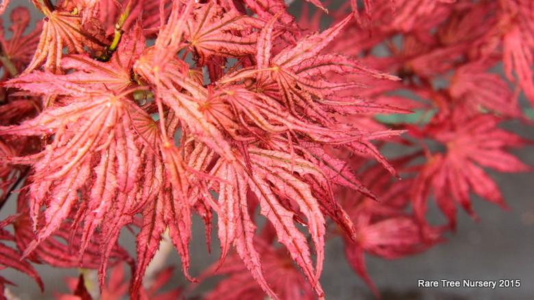 Distinguished by dramatic variegation and deeply divided, narrow leaf lobes, this hardy, bushy Japanese maple deserves a prime location. If sited in full sun, spring leaves will display creamy veins against a purple background; with less sun, green veins stand out against a bright pink background.  Regardless, the incredibly showy variegation lasts well into summer, and in fall, bright orange leaves contrast the green veins.