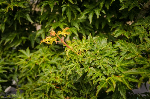 Small crinkly green leaves are burgundy-tipped in spring. Fall color is orange to red.
