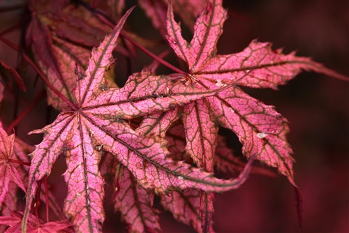 Reticulated leaves show splashes of strawberry-pink color with deeper burgundy and purple tones underneath. Spring leaves are especially colorful. Fall color brightens to red and rust-orange.