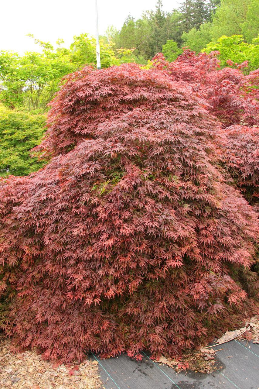 Acer Palmatum Orangeola Japanese Maple Conifer Kingdom