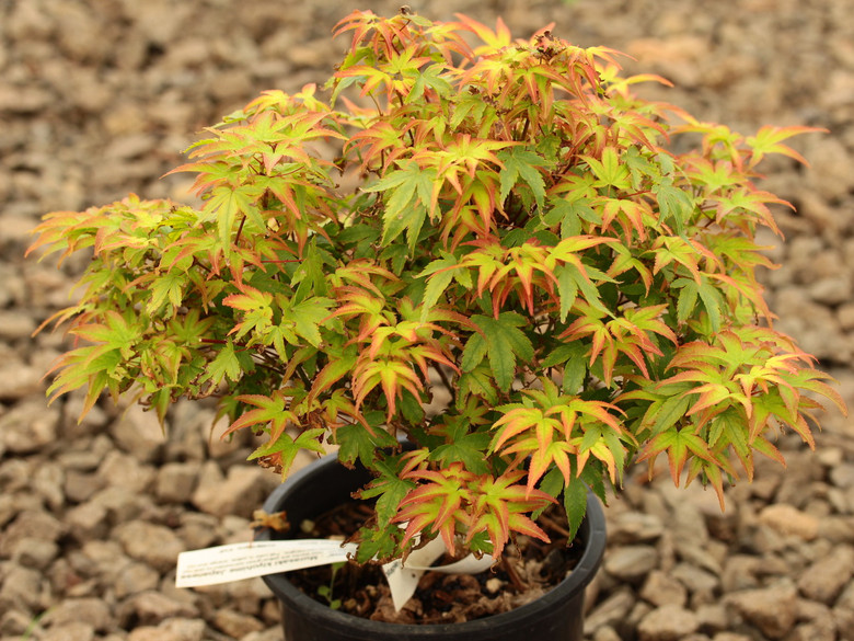 This small-leafed shrub-form maple has small green leaves. New leaves are yellow-green surrounded by pink-red margins. As the leaf elongates, it darkens to green with purple-red margins. Fall color is yellow, orange and red.