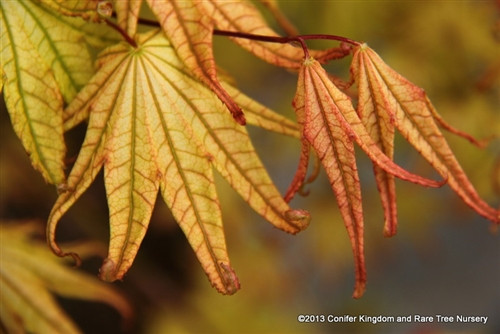 Spring leaves are cream with deep green veins. Pink margins are more prominent in sunny locations. Leaves have sharply-pointed serration, giving a coarse appearance.