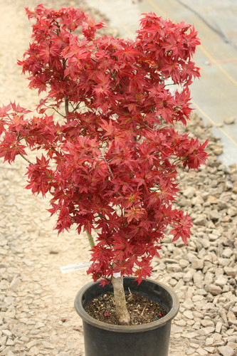 This dwarf upright Japanese maple is highly prized for its incredibly cute, star-shaped foliage. Bright red in spring, the leaves turn green during summer. Then, a second flush of new bright red growth creates a striking contrast against the mature green foliage.