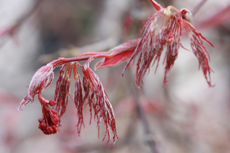Dissectum. A very finely dissected form similar to 'Red Filigree Lace' but faster growing.